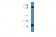 ARP61264_P050 - Cullin-3