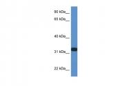 ARP61287_P050 - D-aspartate oxidase
