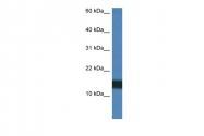 ARP61353_P050 - Histone H2A.Z