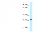 ARP61545_P050 - Peroxin 19 / PEX19