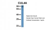 ARP61665_P050 - Cullin-4A