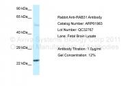 ARP61983_P050 - RAB31 / RAB22B