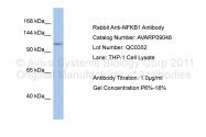 AVARP09048_P050 - NF-kB p105 / p50