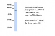 ARP33810_T100 - Alpha-1B-glycoprotein / A1BG