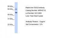 ARP45716_P050 - TDO2 / TDO