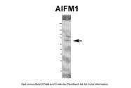 AVARP02013_P050 - AIFM1 / AIF