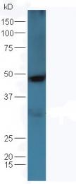 bs-0026R - Osteopontin / SPP1