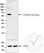 bs-0052R - Caspase-8 / FLICE