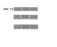 bs-0501R - JNK1/3