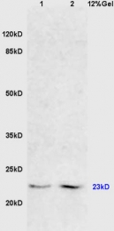 bs-0511R - FADD