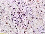 bs-0828R - Thrombin receptor / F2R