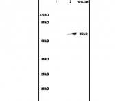 bs-0921R - SIRT1
