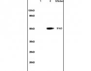 bs-1077R - POU2F2 / OCT2