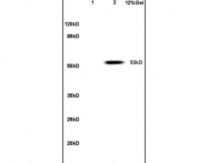 bs-1097R - PAX3