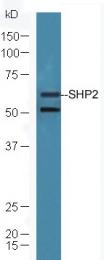 bs-1233R - PTPN11 / PTP2C