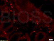 bs-1297R - CD28