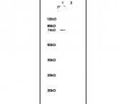 bs-1471R - Annexin A6 / ANXA6