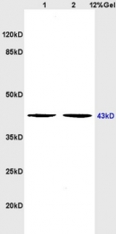bs-2127R - Serotonin receptor 4 / HTR4