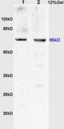 bs-2189R - Uromodulin (UMOD)