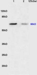 bs-2702R - CD108 / SEMA7A