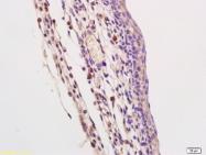 bs-2717R - CD289 / TLR9