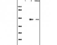 bs-2982R - PACAP type II Receptor / VIP Receptor