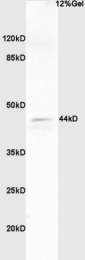 bs-3016R - ERK1 / ERK2
