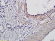 bs-3750R - ARNTL / BMAL1