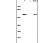 bs-4300R - hnRNP-L / HNRNPL