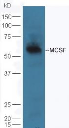 bs-4910R - M-CSF / CSF-1