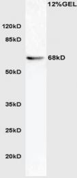bs-5198R - APG16L / ATG16L1