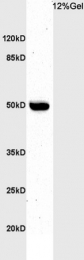 bs-6932R - BHLHB3 / BHLHE41