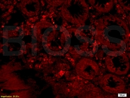 bs-7668R - GPR65 / Psychosine receptor