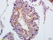 bs-8299R - Thioredoxin reductase 1 / TXNRD1