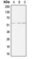 CPA1015-100ul - ACVRL1 / ALK1