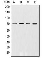 CPA1028-100ul - Beta-ARK-1 / ADRBK1