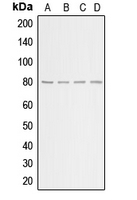 CPA1029-100ul - Beta-ARK-1 / ADRBK1