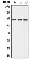CPA1045-100ul - Alkaline phosphatase / ALPI / IAP