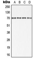 CPA1059-100ul - IAP2 / BIRC2