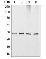 CPA1064-100ul - Apolipoprotein E / Apo E