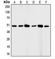 CPA1067-100ul - CD95 / FAS