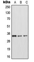 CPA1074-100ul - Arginase-1