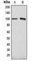 CPA1083-100ul - ATP1A1