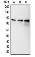 CPA1129-100ul - Calnexin