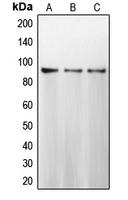 CPA1130-100ul - Calnexin