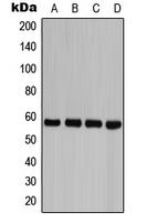 CPA1153-100ul - Caspase-8 / FLICE