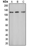 CPA1165-100ul - CBL / RNF55