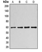 CPA1169-100ul - Cyclin B1