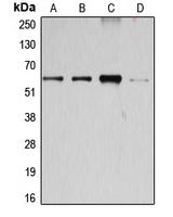 CPA1170-100ul - Cyclin B1