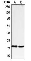 CPA1178-100ul - CD3